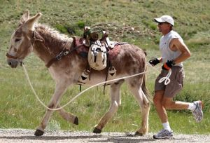 Laredo and Hal head out on the 30-mile Fairplay World Championship Pack-Burro Race course. Photo by Tim Van Riper.