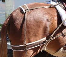 This is a britchin holding a rading saddle in place on my neighbor Patti's mule.