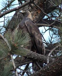eaglesmall