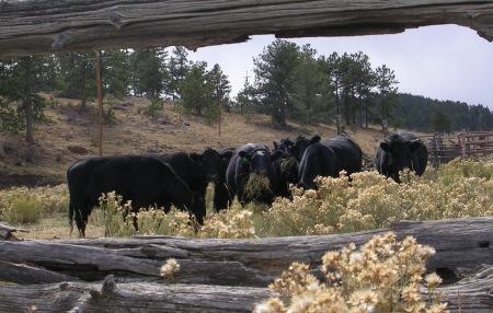 Framed Cows