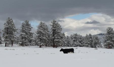 snowcow2